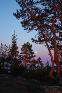 The Moon rises while the sun has not set yet over the pine trees in remote Sweden
