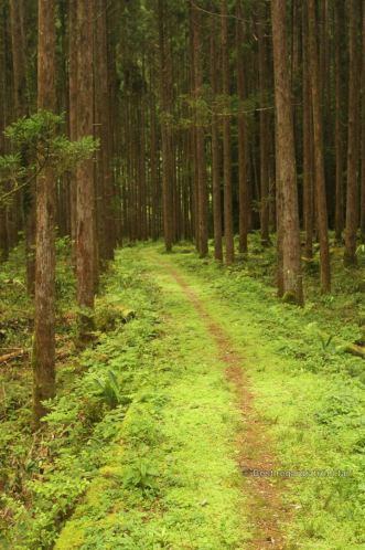 Cedar tree forest along the Kaeda valley hike, Japan.