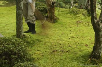 Monk wearing tabi split-toe sock and sweeping the precious moss of Koke-dera: gently with a twig broom.