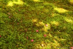Pink flowers on the moss carpet at Koke-dera, the temple of moss, Kyoto.