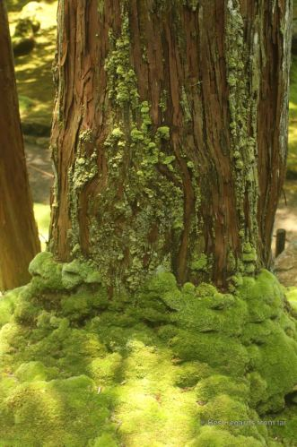 Moss growing along the trunk of a cedar tree in Koke-dera, the temple of moss, Kyoto.