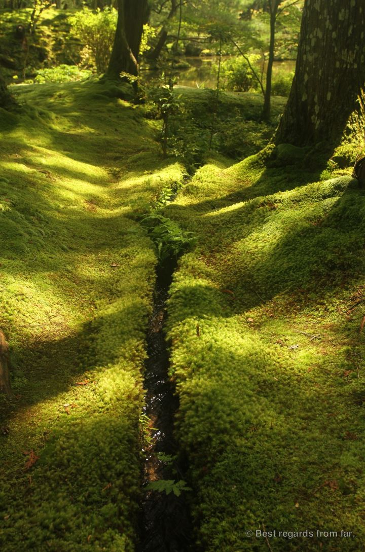 Green moss in Koke-dera with a narrow irrigation channel leading to the pond, Kyoto, Japan.