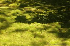Kokedera: shadows of a maple tree on the moss