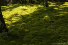 Koke-dera: shadows and lights on the delicate moss, Kyoto.