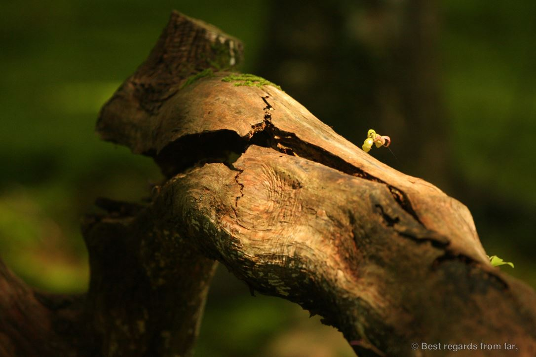 A dead branch in the sunlight with a blossom: life and death in Koke-dera, the temple of moss, Kyoto.