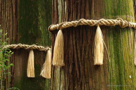 Sacred cedar trees in Takachiho Shrine, Japan.