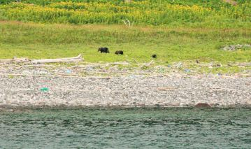 Mother brown bear with her two cubs foraging in the grass, pebbles and water. Shiretoko National Park, Hokkaido, Japan