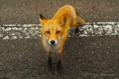 Fox, Shiretoko NP, Hokkaido, Japan.