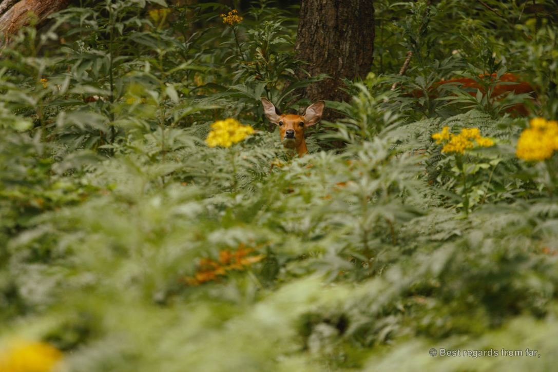 A deer lost in vegetation during a hike in Shiretoko NP, Hokkaido, Japan.