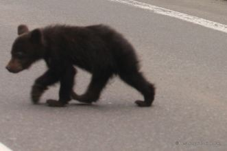 Brown bear cub crossing the road, Shiretoko National Park, Hokkaido, Japan