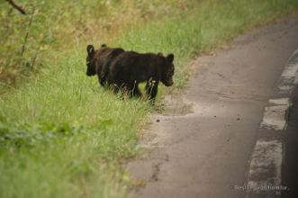 Two brown bear cubs by the side of a road in the Shiretoko National Park, Hokkaido, Japan.
