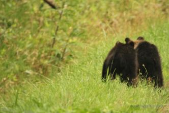 Two brown bear cubs in the grass in Shiretoko National Park, Hokkaido, Japan