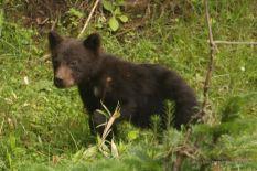 Brown bear cub, Shiretoko NP, Hokkaido, Japan.