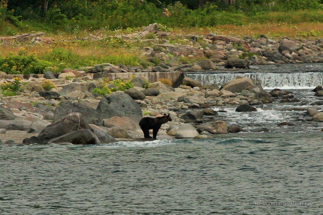 Young brown bear by the sea looking at a waterfall, Shiretoko National Park, Hokkaido.
