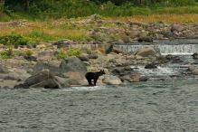 Young brown bear by the sea looking at a waterfall, Shiretoko National Park, Hokkaido.