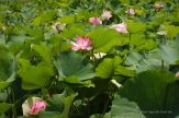 Lotus flowers blooming