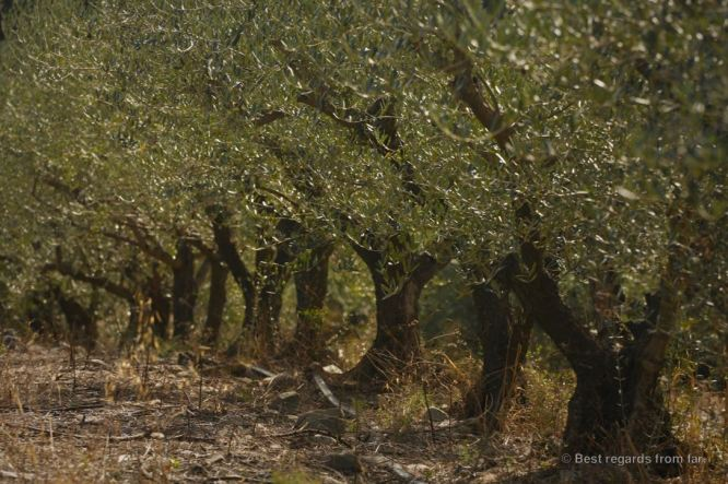 Olive trees carrying the fruits which are almost ready to be picked