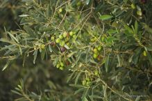 The olives starting to change colours