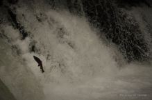 Wild salmon jumping up against a roaring waterfall, Hokkaido, Japan