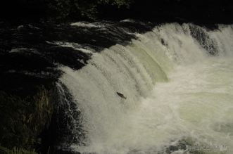 Broad waterfall with a salmon trying to jump against the stream, Hokkaido, Japan.
