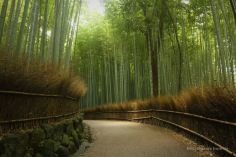 The bamboo forest of Arashiyama