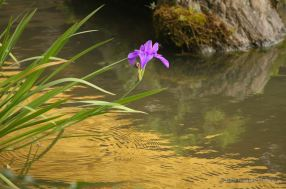 Reflection of the Golden Pavilion with a purple Iris blooming