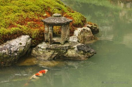 Koi carps are often to be seen in ponds in temple gardens