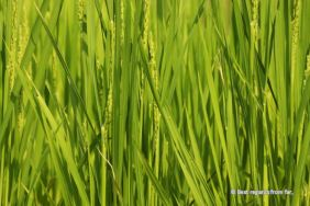 Close-up of the rice in fields near Tsumago, Magome to Tsumago hike