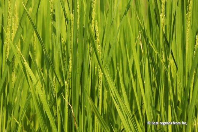 Close-up of rice in a green rice field, Japan.