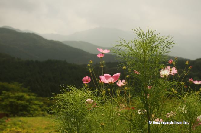 Pink flowers with mountains in the background.