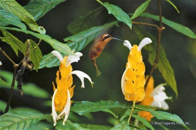 Belize Hummingbird