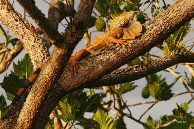 Belize-iguana