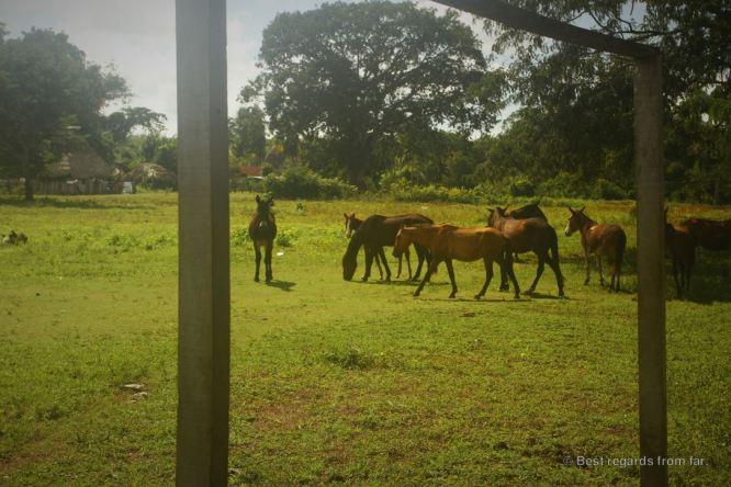 Mules grazing on the soccer field, Carmelita, Guatemala