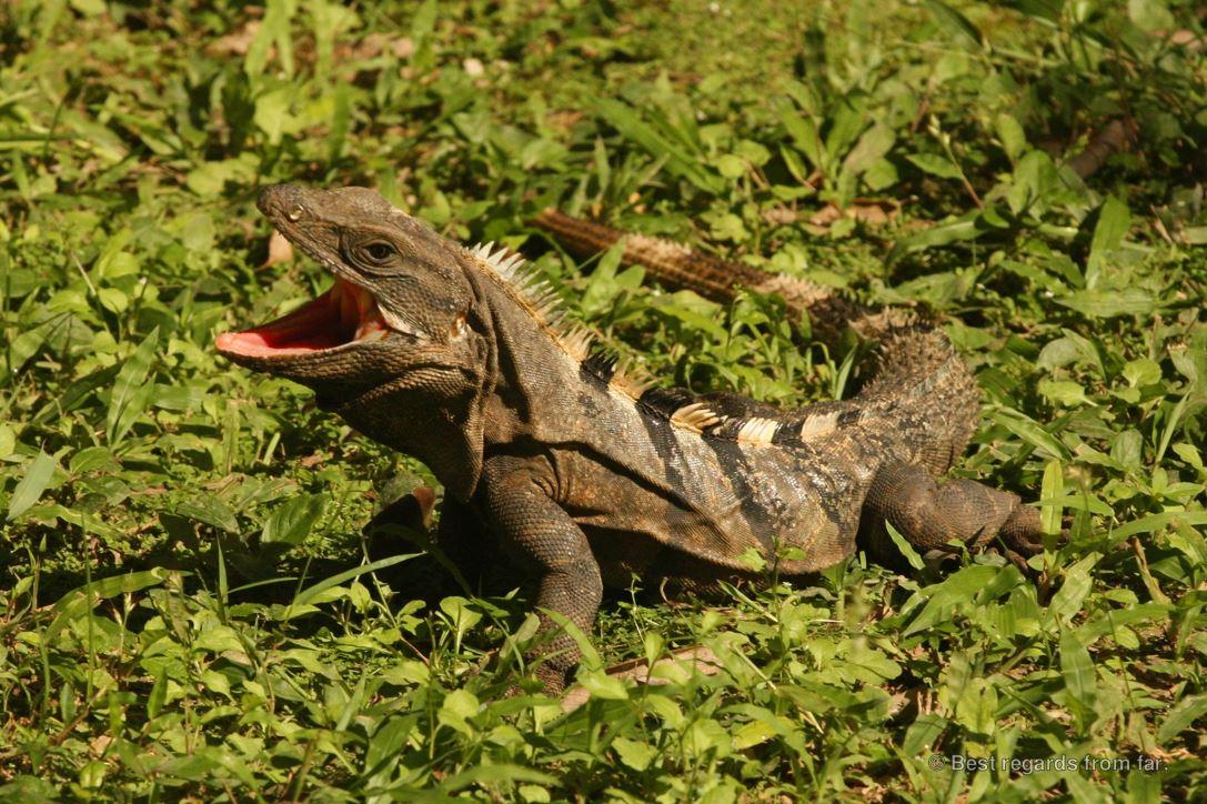 Iguana on the grass at Chichén Itza, Mexico