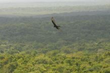 An eagle flying over the jungle of El Mirador, Guatemala