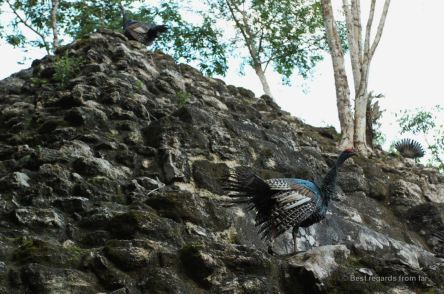 Wild peacocks climbing one of the pyramids of the complex of El Tigre, El Mirador, Guatemala