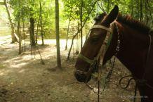 A mule in La Muerta, El Mirador, Guatemala
