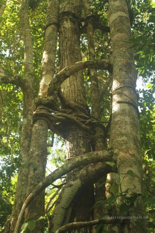 The love tree loves so hard that it suffocates the original tree, El Mirador, Guatemala