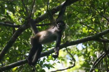 A spider monkey playing in the trees, Tikal, Guatemala