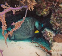 Underwater photo of a grey angelfish while SCUBA diving in Glover's Reef, Belize