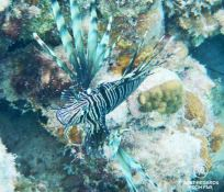 Underwater photo of a lionfish while snorkeling in Glover's Reef, Belize