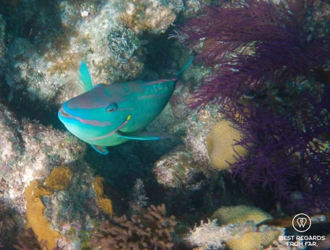 Underwater photo of a parrotfish while SCUBA diving Glover's Reef, Belize