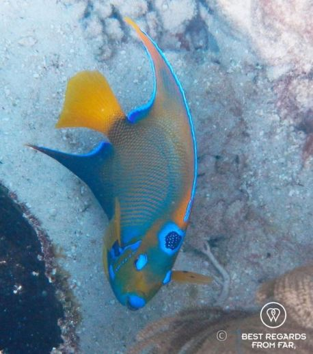 Underwater photo of a queen angelfish while snorkeling in Glover's Reef, Belize