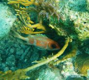 Underwater photo of a squirrelfish while SCUBA diving in Glover's Reef, Belize