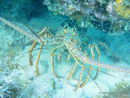 Lobster, Glover's Reef, Belize