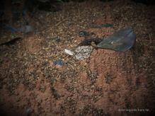 The fer-de-lance, the deadliest snake in Central America