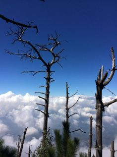 Dead pine trees about halfway up the Acatengo volcano Guatemala