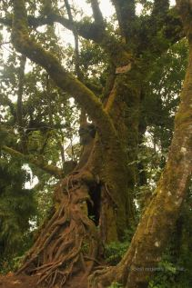 Massive tree that could easily house a whole family, Acatanango, Guatemala