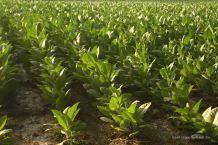 Tobacco fields in Esteli, the tobacco capital of Nicaragua