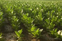 Tobacco fields in Esteli, the tobacco capital of Nicaragua